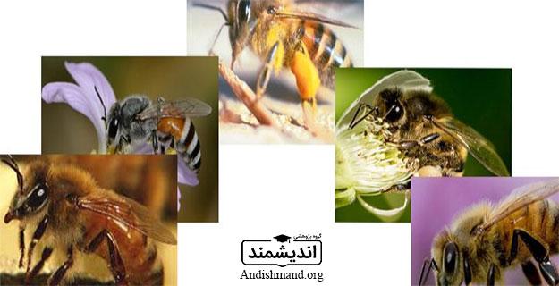 گونهها و نژادهای زنبور عسل A.m.mellifera ، A.m.ligustica ، A.m.caucasica ، A.m.carnica ، A.m.mede&persica ، ۵ گونه زنبور عسل