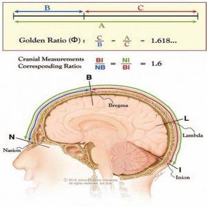 نسبت طلایی مغز