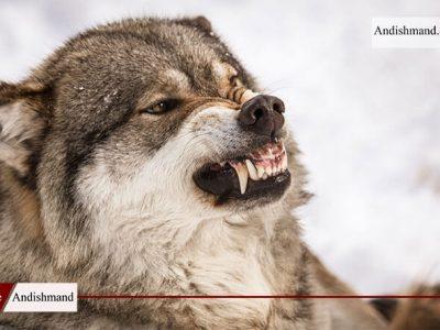 حمله گرگ به باغداران زنجانی