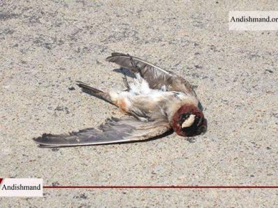 مرگ سارها - مرگ صدها پرنده در رم ایتالیا در پی آتش بازی شب سال نو